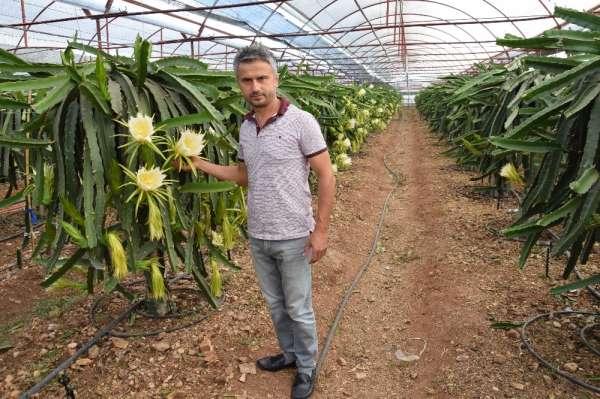 Dönümde 10 bin adet meyve alıyor, meyvenin tanesini 15 TL'ye satıyor