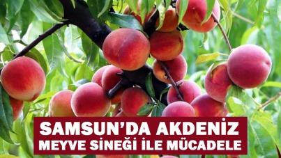 Samsun'da Akdeniz meyve sineği ile mücadele