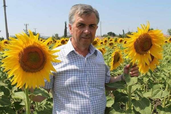 Manyas'ta ayçiçeği rekoltesinde artış bekleniyor
