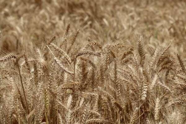 Doğru: 'Buğdayda tatminkar fiyat bekliyoruz'