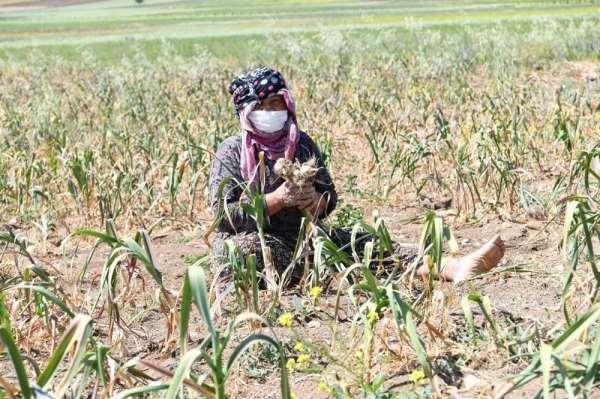 550 kişinin yaşadığı köyde her yıl yaklaşık 250 ton sarımsak üretiliyor