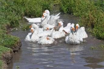 (Özel haber) Kars'ta kazlar besiye alındı