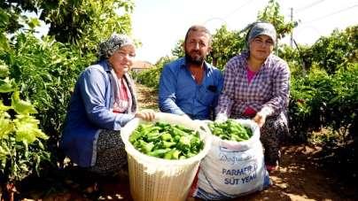 Manisa'nın ünlü biberinde üretim azaldı