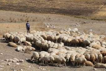 Sivas'ta hedef 1 milyon Kangal Akkaraman koyunu