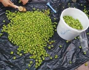 Yeşil zeytinler sofraları süslüyor