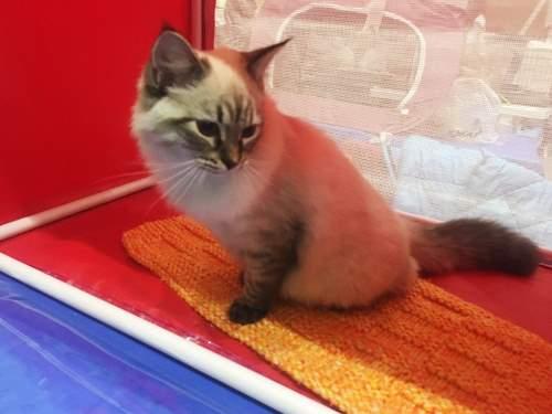 Mutlu Kediler Yarışması'na 130'un üzerine kedi katıldı