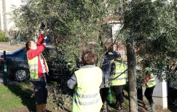 Zeytin ağacı budama eğitimi