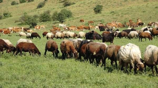 Muş'ta hayvancılık her geçen gün canlanıyor