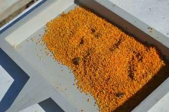 Siirt'te köylülerin yeni gelir kaynağı olan polen hasadına başlandı