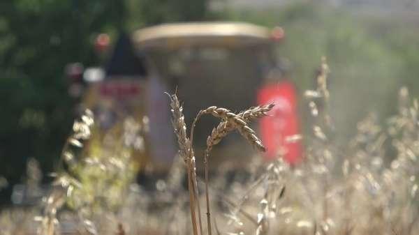 Uşak'ta yerli buğday hasadı yapıldı