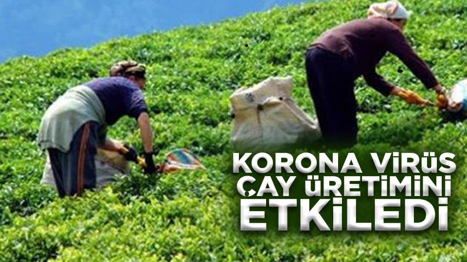 Korona virüs çay üretimini etkiledi
