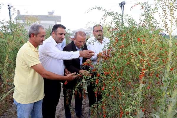 Aksaray'ın Oscar kalite ödüllü goji berry'si dünyaya ihraç ediliyor