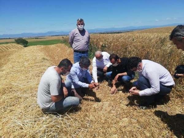 Ceyhan'da rüzgar buğdaya zarar verdi