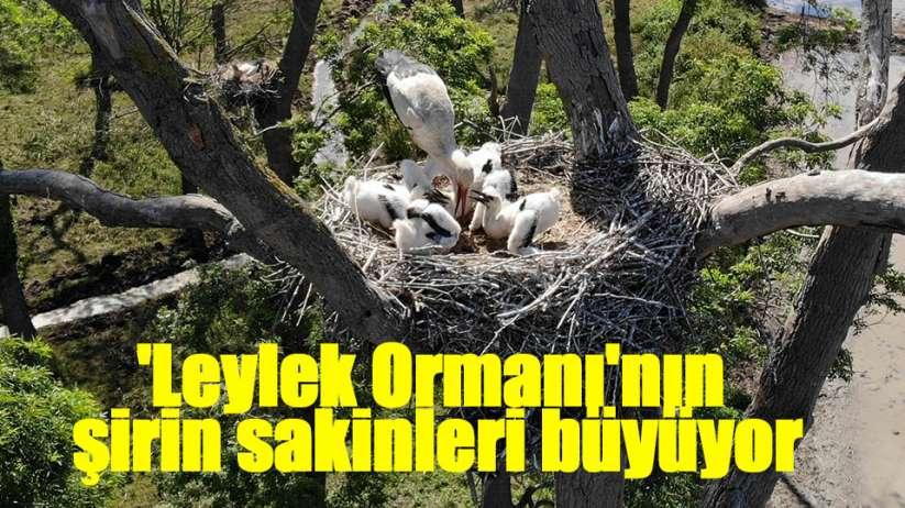 Samsun'da 'Leylek Ormanı'nın sakinleri yavrularını büyütüyor
