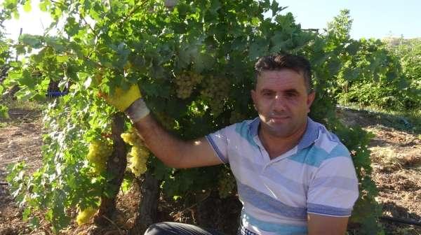 Gercüş'te organik kuru üzüm mevsimi başladı