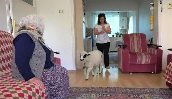 Annesinin reddettiği kuzuyu evinde besliyor