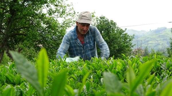 Fındık üretimi artacak, yaş çay üretimi düşecek