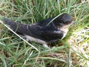Annesi ölen yavru kırlangıç kuşunu besledi, büyüttü doğaya saldı