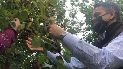 Tarım ve Orman Bakanı Bekir Pakdemirli sel bölgesinde fındık topladı