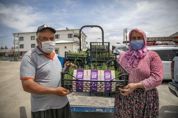 Mersinde üreticilere lavanta fidesi dağıtıldı