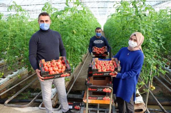 Jeotermal serada yılda bin ton domates üretiliyor