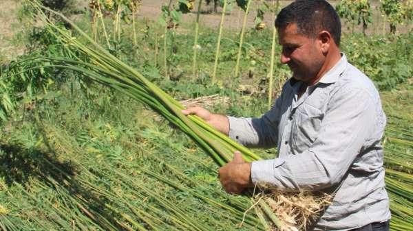 Samsun'da hasat başladı!