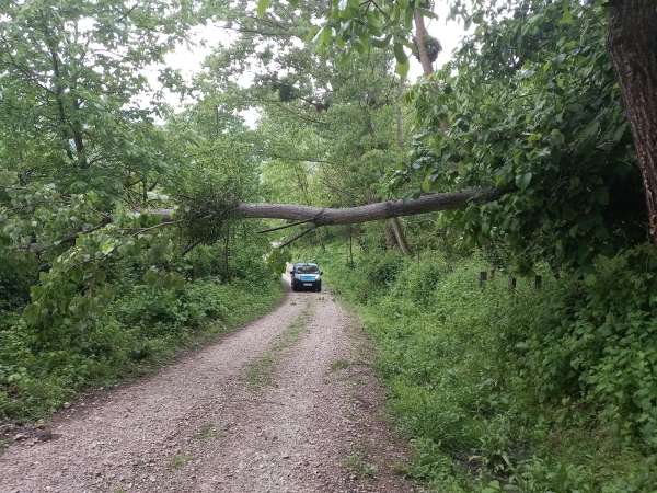 Sinopta yıkılan ağaç yolu kapattı