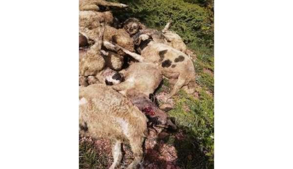 Tokatta kurtlar 35 küçükbaş hayvanı telef etti
