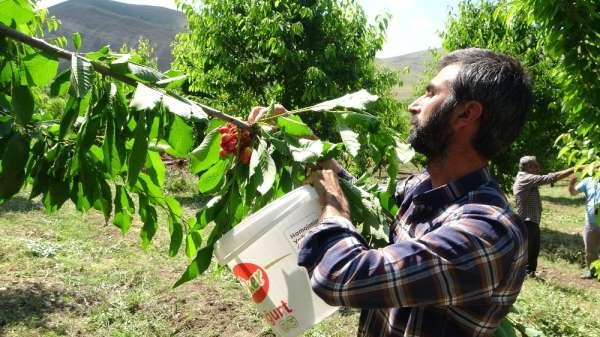 72 yaşındaki Saliha Nine devlet desteğiyle kiraz bahçesi kurdu