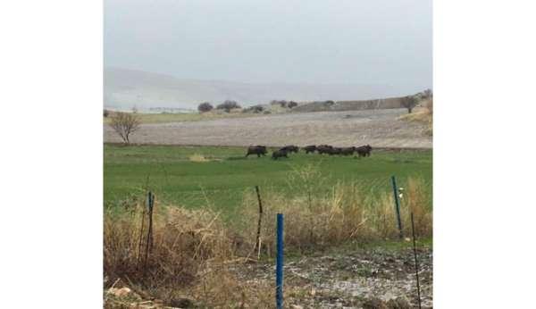 Domuz sürüleri ovaya indi, bölge halkı korkuyla yaşıyor