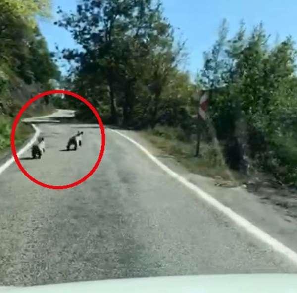 Sinop'ta yavru ayılar güpegündüz böyle görüntülendiler