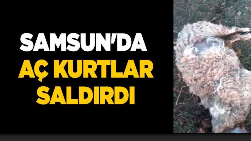 Samsun'da aç kurtlar saldırdı