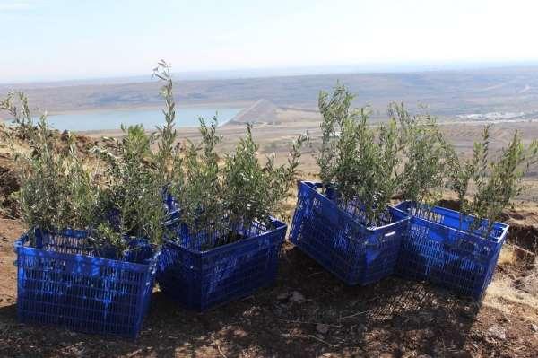 Kilis'te 15 bin yağlık zeytin fidanı dağıtılacak