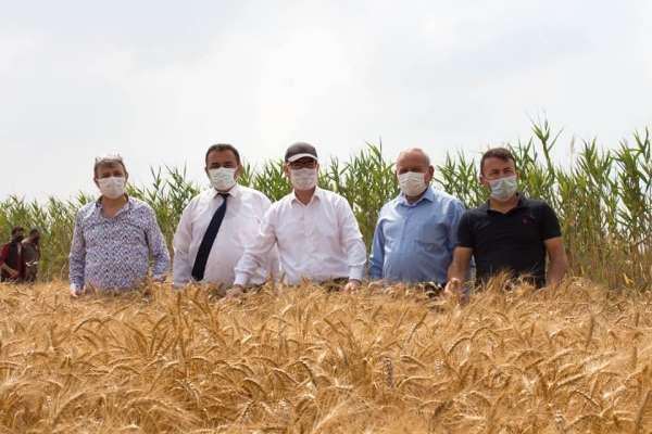 Silifkede yerli tohum ekimi yapılan buğday çeşitleri hasat edildi