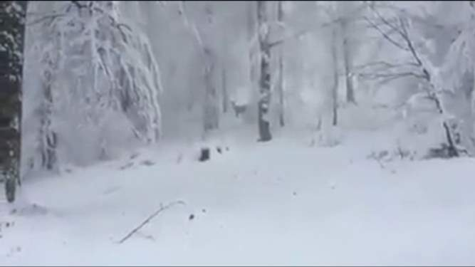 Aç kalan geyikler köye indi