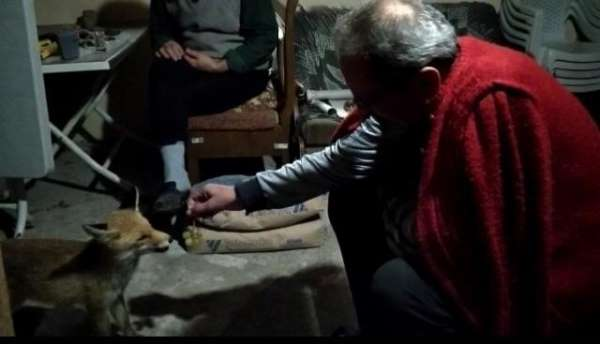 Her akşam evine gelen tilkiyi elleri ile besliyor