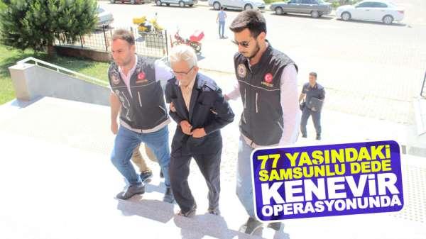 Samsun'da 77 yaşındaki yaşlı adam kenevir operasyonunda göz altına alındı