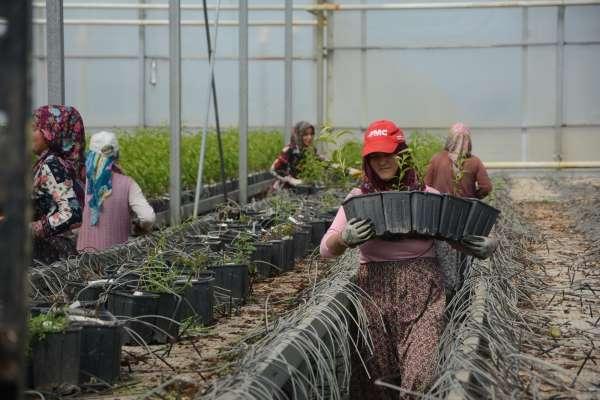 Jeotermal serada yılda 300 bin meyve fidanı üretiliyor