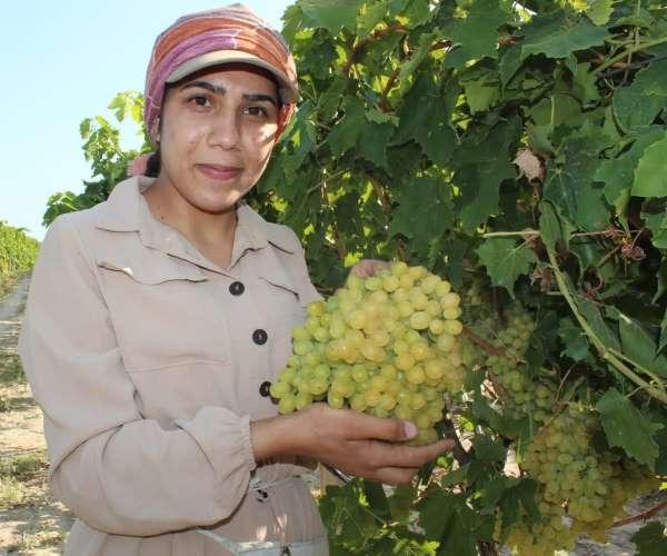 Dünyaca ünlü Sultani üzümde hasat başladı