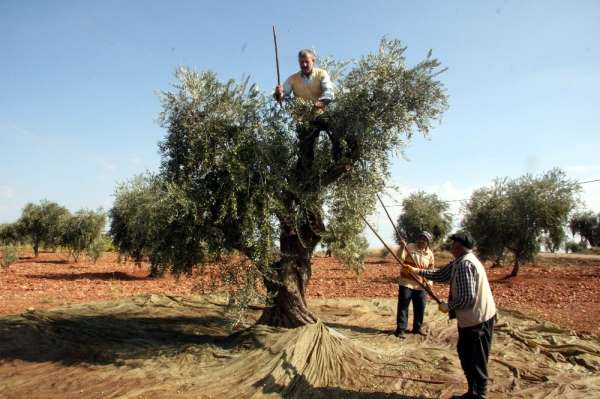 Kilis'te zeytin hasadı erken başladı