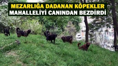Samsun'da mezarlığa dadanan köpekler mahalleliyi canından bezdirdi