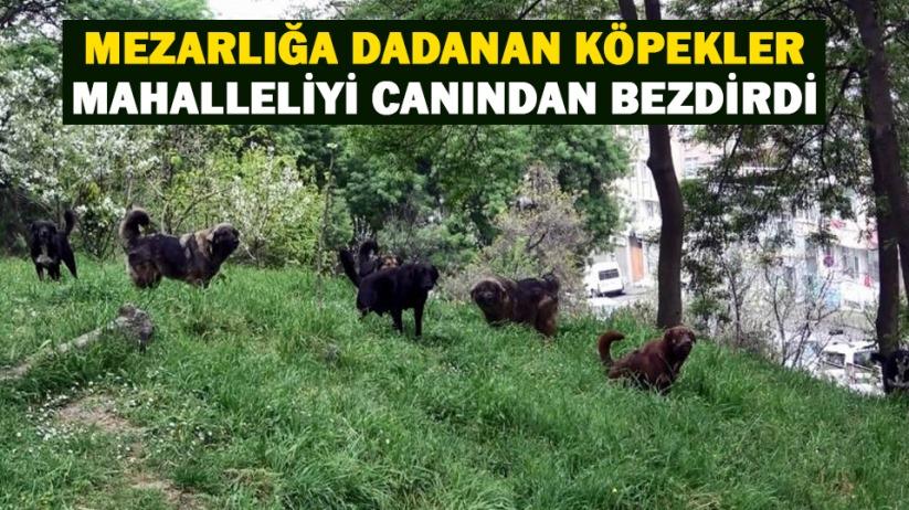 Samsunda mezarlığa dadanan köpekler mahalleliyi canından bezdirdi