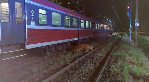 Polonyada 2 inek tren kazasından yara almadan kurtuldu