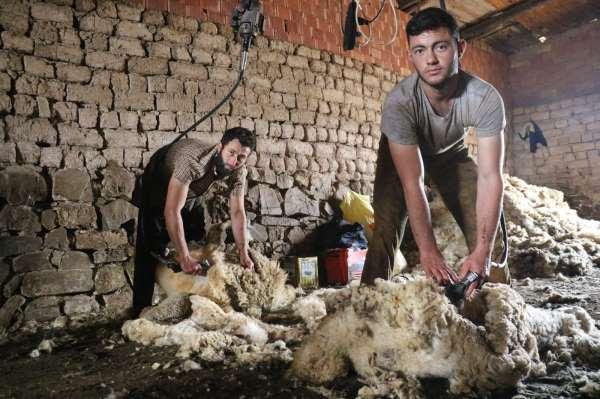 Sivasta koyunları kırkım işlemi başladı