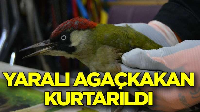 Samsun'da yaralı halde bulunan yeşil ağaçkakan koruma altına alındı