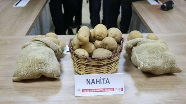 Niğdede geliştirilen yerli patates tohumu Avrupa yolunda