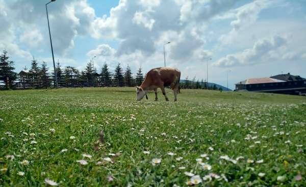 Samsunda süt sığırcılığı geliştirilecek