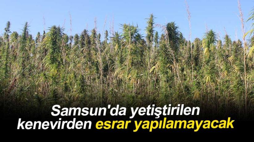 Samsun'da yetiştirilen kenevirden esrar yapılamayacak