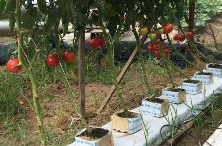 Ziraat teknikeri topraksız tarım uygulaması ile domates ve marul yetiştirdi