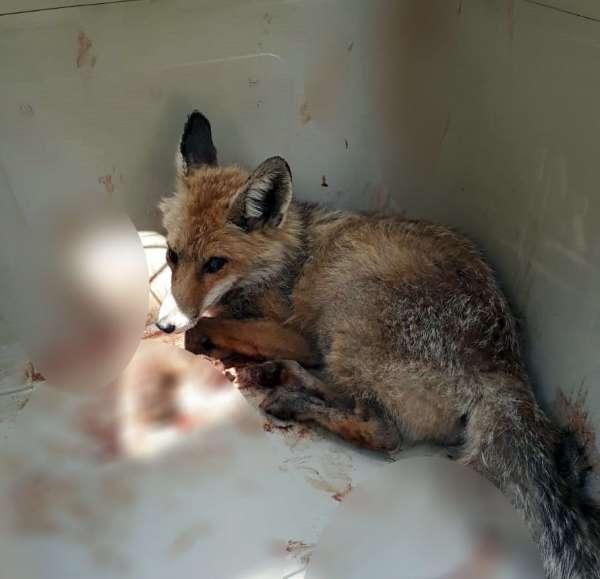 Alanya'da yaralı tilki tedavi altına alındı